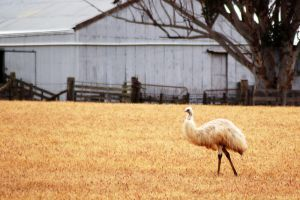 White Emu by AdamsWife