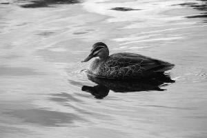 the Duck by Carolinel3