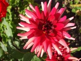 Red Dahlia III by Anemya-Stock