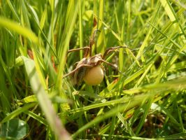 spider with an egg sac by mrsbobetski