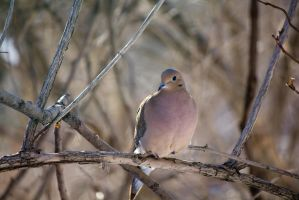 Little Dove Perching by Eternalfall1