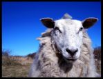 Sheep are cool by Sonen89
