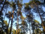 Pine forest by Esse-light
