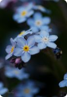 forget-me-nots2... by TheRedGirl