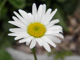 White Flower by MVTPhotography