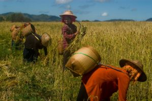 Workers in the field - Burma by sevenths