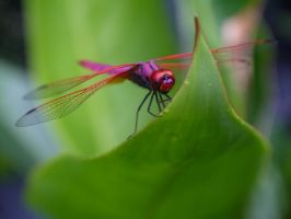 Nature in Details: Pink Dragonfly by SneakyC2