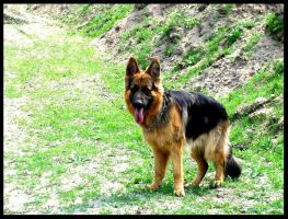 German Shepherd by Honcia