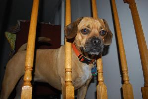 Puggle in bars by ParadoxAndPlaid