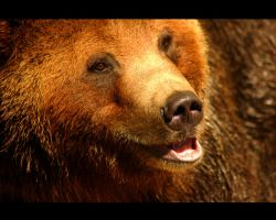 Grizzly Bear by PBPhoenix