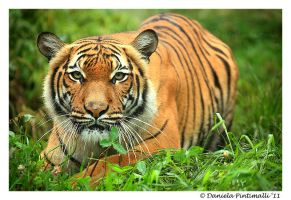 Stalking Tigress by TVD-Photography