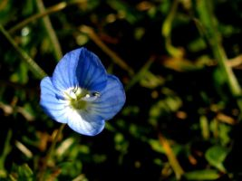 Blue Flower by cindyvalentine