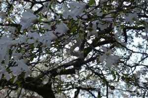 white flowers tree by AllenYuu