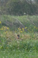 Pheasant among the Flowers by meihua