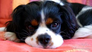 Cavalier King Charles by a-Astree