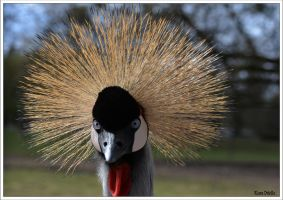 Grey crowned crane by KlaraDrielle