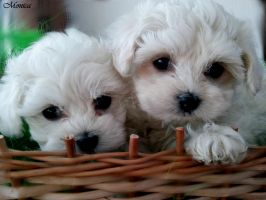 Puppies by MonicaFlower