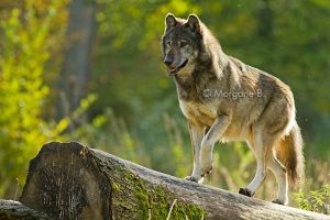 Wolf IV by moem-photography
