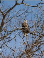 Bald Eagle 002 by Lovesong4no1