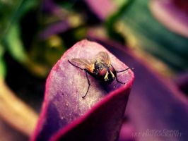 Macro-musca by bettina-coman