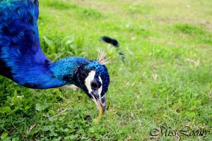 Peafowl by MissLoony