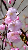 Cherry Blossoms by MadMoonInc
