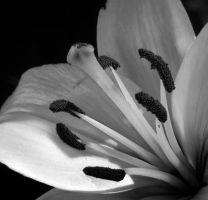 White flower bw by Zandraka