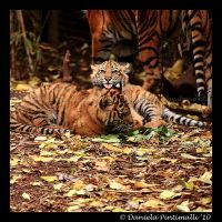 Baby Tigers: Bleagh by TVD-Photography