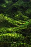 TEA FARM by DawnRoseCreation