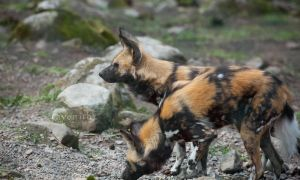 African wild dogs. by Ravenith