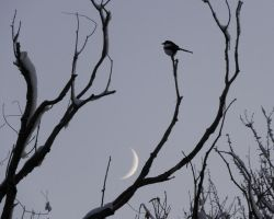 Magpie over the Moon by Canislupuscorax