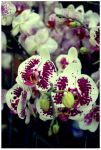 just orchids by JONY-CAKEP