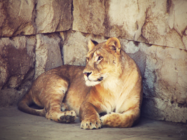 Lioness by LuckyPsych