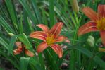 Day Lily Front Garden 2013-06-13 05 by skydancer-stock