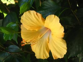 yellow Hibiscus 2 by crazygardener