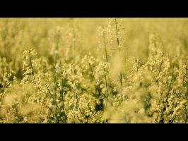 fields of gold by Swedey