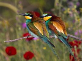 Rainbow - European Bee-Eaters by Jamie-MacArthur