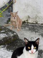 Composition with feral temple cats, Chiangmai by Art-of-Eric-Wayne