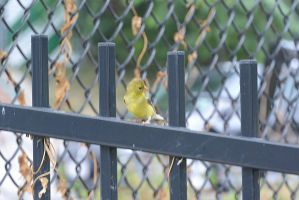 A Visitor On the Fence, Gold Finch Looking Back by Miss-Tbones