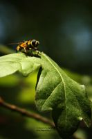 wasp. by Mr-Heli