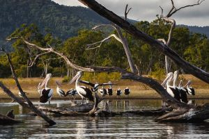 Driftwood Pelicans by Questavia