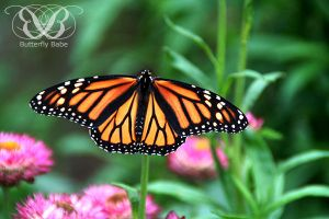 Monarch Photography by TheButterflyBabe