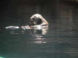 Sea Otter 6 -- Sept 2009 by pricecw-stock