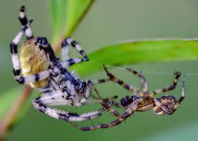spiders courting:. by efeline