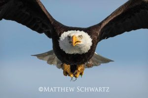 Bald Eagle with catch by Nature-Photo-Master