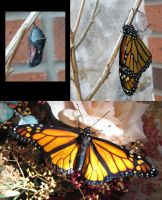 Monarch baby YEAH by Kerahna