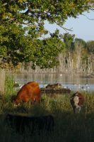 Lake cows by perost