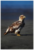 Juvenile Bald Eagle by Nate-Zeman