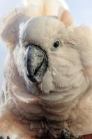 Moluccan Cockatoo by teslaextreme