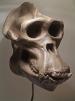 Gorilla Skull three quarter by Jengabean